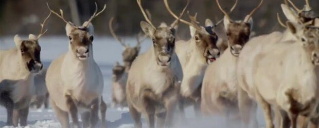WCY_Making_Of_Wolves_Caribou_2500kbps_620x350_1063672899561